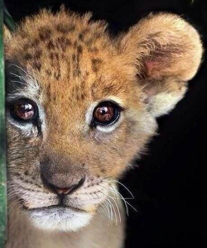 Liten løve