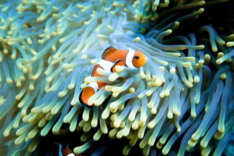 En klovnefisk som den i Oppdrag Nemo